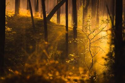Garkalnes mežu pīlādzis rītausmā.