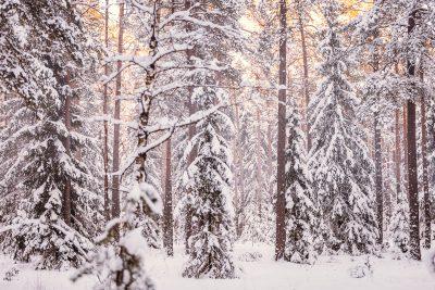 Sniegots Latvijas mežs Tomē.