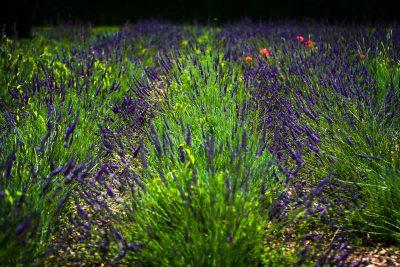 Patīkama satikšanās ar lavandas laukiem Parīzes sirdī.