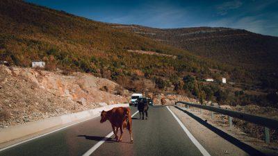 Govju pastaigu ceļš. Albānija, ceļā uz Valbones nacionālo parku.